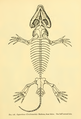 The Osteology of the Reptiles-175 sertrew.png