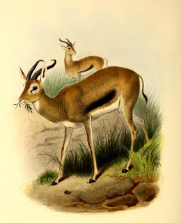 Heuglins gazelle subspecies of mammal