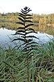 Thelypteris palustris kz07.jpg