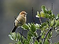 Thlypopsis inornata - Buff-bellied Tanager (cropped).jpg