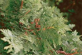 Thuja occidentalis branch.jpg