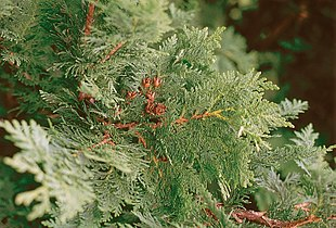 Thuja occidentalis branch.jpg