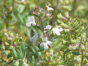 Thymus vulgaris fragrantissimus1.jpg