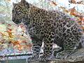 Tierpark Cottbus China-Leopard2.JPG