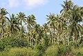 Tiga-Papan Sabah Coconut-trees-04.jpg