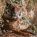 Tiger, sooo sweet (4414411415).jpg