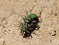 Tiger Beetles mating. Cicindela campestris. Carabidae (32687226915).jpg