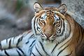 Tiger Looking at Camera (18891622993).jpg
