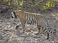 Tiger at ranthambore national park in india.jpg