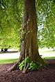 Tilia cordata in Christchurch Botanic Gardens 02.jpg