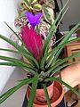Tillandsia flower (14807537493).jpg
