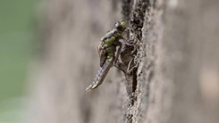 Податотека:Timelapse video of an emerging Common Clubtail dragonfly - Gomphus vulgatissimus.webm