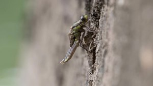 File:Timelapse video of an emerging Common Clubtail dragonfly - Gomphus vulgatissimus.webm