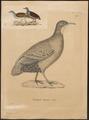 Tinamus tataupa - 1700-1880 - Print - Iconographia Zoologica - Special Collections University of Amsterdam - UBA01 IZ18900223.tif