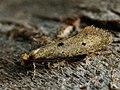 Tinea trinotella (40359752205).jpg