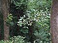 Tintali (in Oriya) (8902459654).jpg