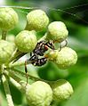 Tiny Ichneumon wasp depositing egg in caterpillar host. Probably Listrodromus nycthemerus (Ichneumoninae, Listrodromini) - Flickr - gailhampshire.jpg