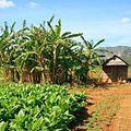 Tobacco Plantation, Near Vinales - panoramio.jpg