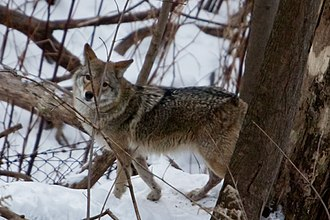 Fauna of Toronto - A coyote in Neville Park ravine, The Beaches, Toronto.
