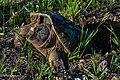 Tortue serpentine (Chelydra serpentina).jpg