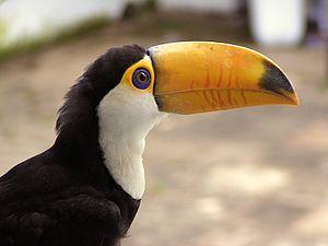 Toco toucan - Image: Toucan 2 4 2005