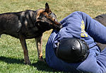 Travis SFS Military Working Dog 150326-F-OH435-065.jpg