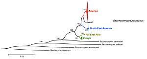 Saccharomyces paradoxus - Image: Tree S.paradoxus gene Pop 2 Rpb 2 Leducq 2014