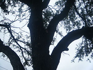 English: extended tree branches