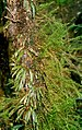 Tree fern stem with moss & fern epiphytes.jpg