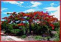 Tree flamboyant from Madagascar - panoramio.jpg
