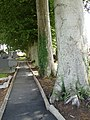 Tree lined graveyard at St Matthew's Broomhedge - geograph.org.uk - 1415340.jpg