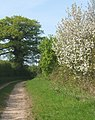 Trees and blossom by track near Coddenham - geograph.org.uk - 789864.jpg
