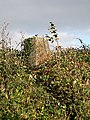 Triangulation Pillar in the Hedge - geograph.org.uk - 404000.jpg