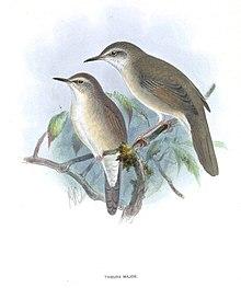 巨嘴短翅莺