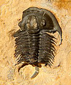Fossil of the Cambrian trilobite Tricrepicephalus