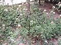 TrifoliumPratense.jpg