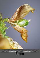 Trifolium campestre sl13.jpg