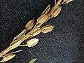Triglochin maritimum fruits (13).jpg