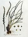 Triglochum maritimum — Flora Batava — Volume v4.jpg