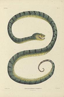 Trimeresurus