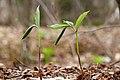 Trillium erectum UL 06.jpg