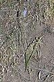 Triteleia grandiflora 9543.JPG