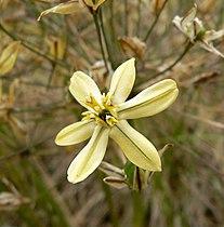 Triteleia ixioides scabra 1.jpg