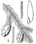 Tsuga caroliniana drawing.png