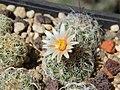 Turbinicarpus dickisoniae PP215 - Flickr - Resenter89.jpg