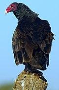 Turkey Vulture (66735029).jpeg