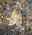Twin-spotted Quaker (26365643147).jpg