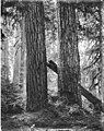Two fir trees and bicycle, Longmire Springs,July 31, 1896 (WAITE 87).jpeg