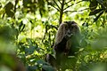 Uday Kiran Lion-tailed macaque eating leaf litter.jpg