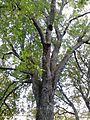 Ulmus x hollandica. Belgrave Crescent Gardens, Edinburgh (8).jpg